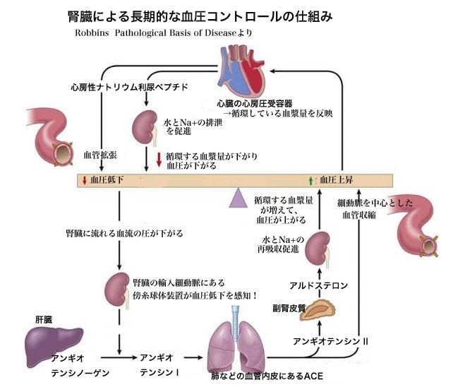 renin angiotensin