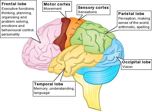 Brain20lobes.jpg