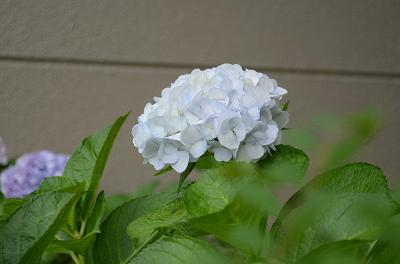 DSC_1120白いアジサイ