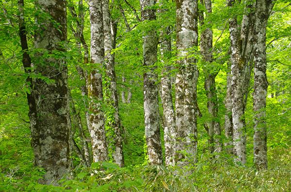 中山峠のブナ林