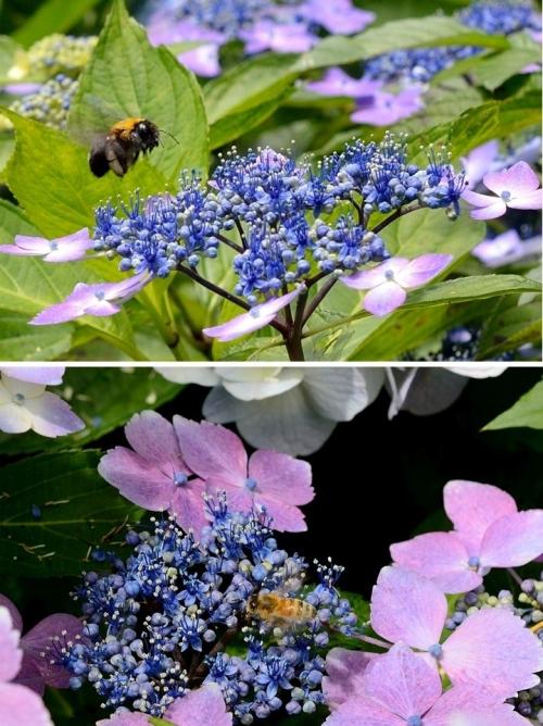 額田園地紫陽花(4)