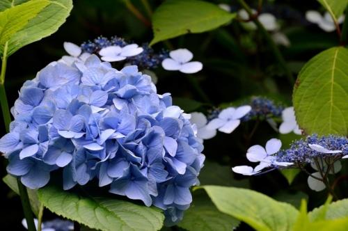 額田園地紫陽花(1)