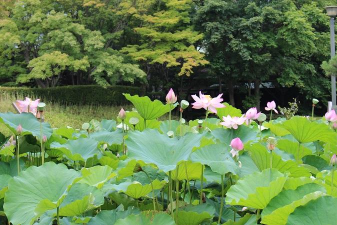 20150714新潟旅行:白山神社 蓮の花