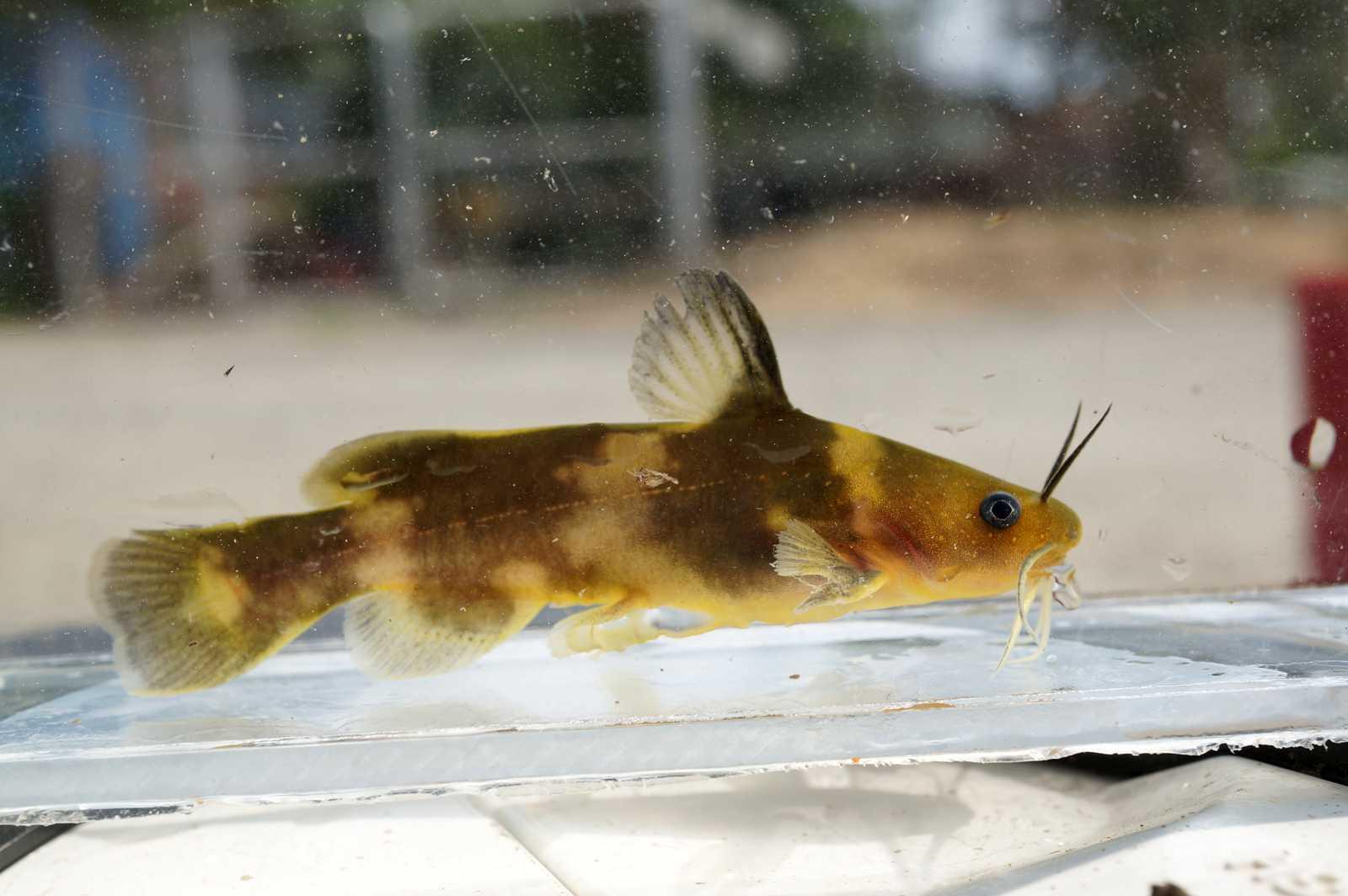 꼬치동자개(ッコチドンジャゲェ 和名ウサギギギ Pseudobagrus brevicorpus)