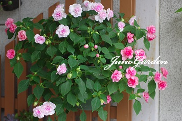 バラ咲きインパチェンス150626