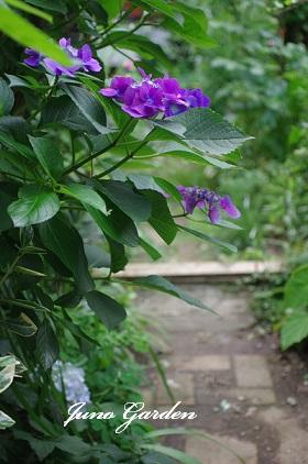 紫陽花剪定6030