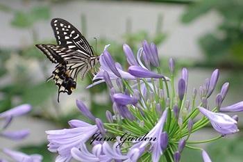 アガパンサスのアゲハチョウ