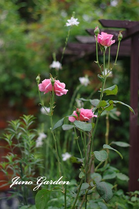 ピンクのバラ150708