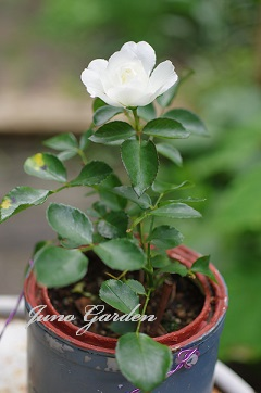 挿し木のバラ15708