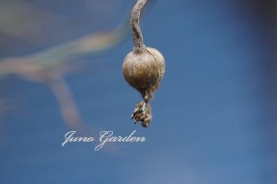 矢車草の種150717