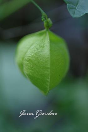 フウセンカズラの果実150718