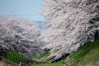 15.4.2桜