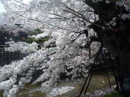 15.4.4川路桜 朝
