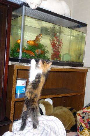 金魚が気になるミモザ