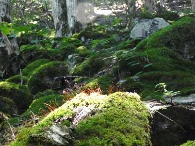 倒れた木の苔