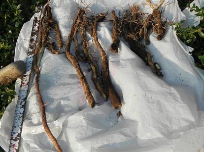 ヤマノイモの根