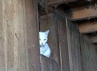 0801夏湯白猫
