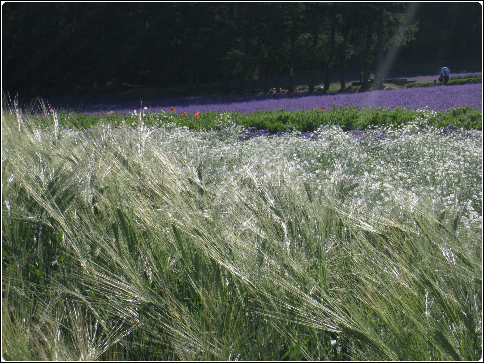 lavender_10_717.jpg