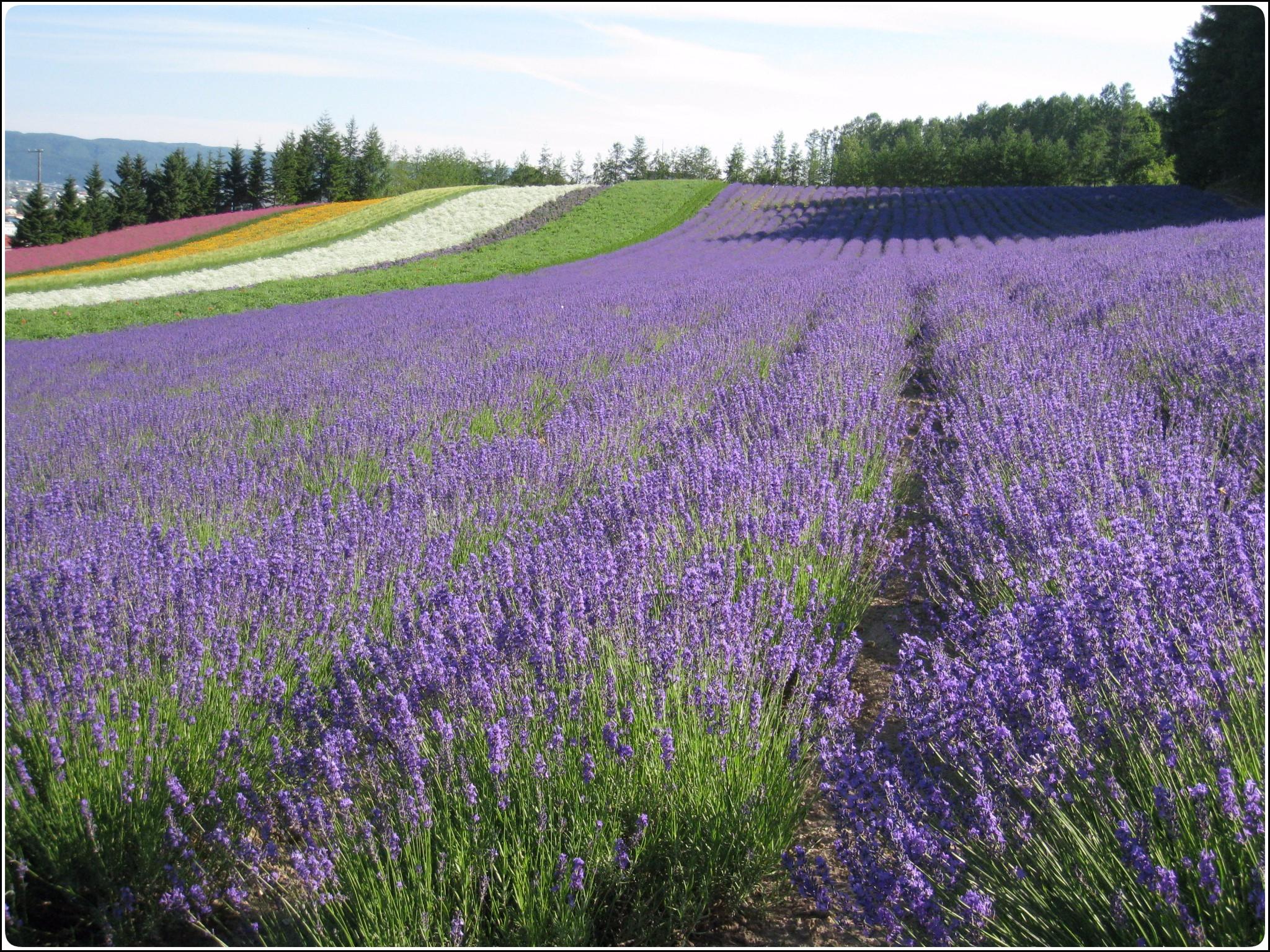 lavender_12_717.jpg