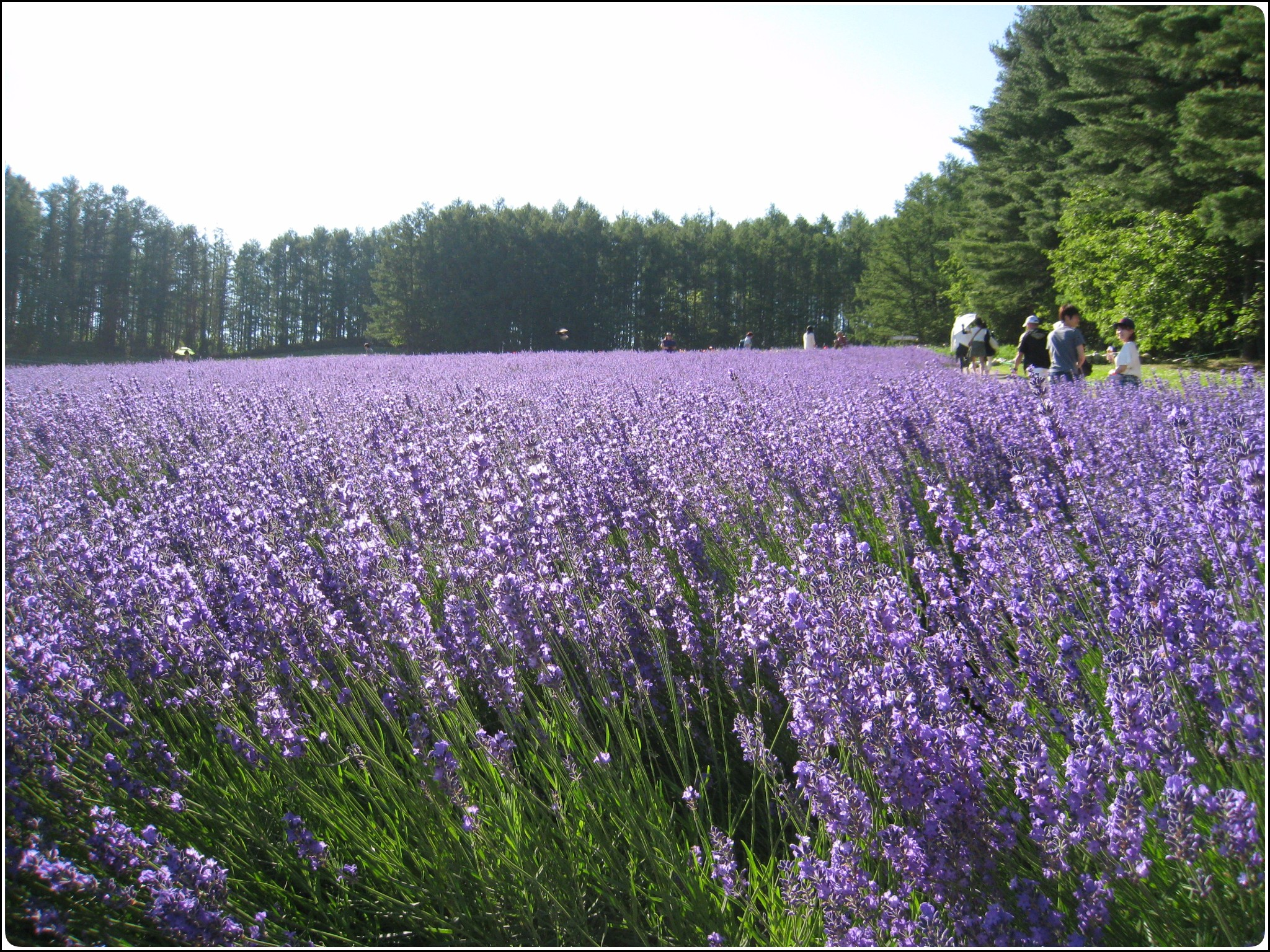 lavender_15_717.jpg