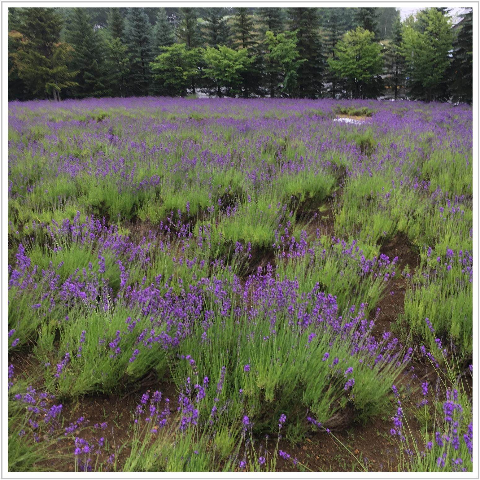 lavender_1_717.jpg
