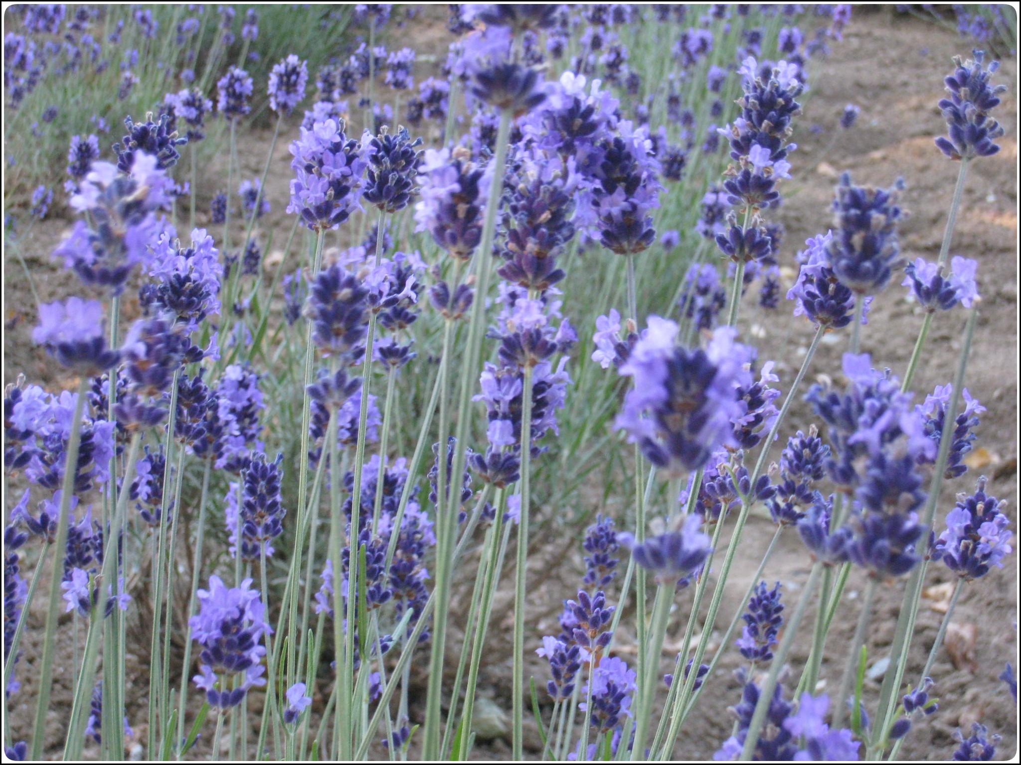 lavender_8_717.jpg