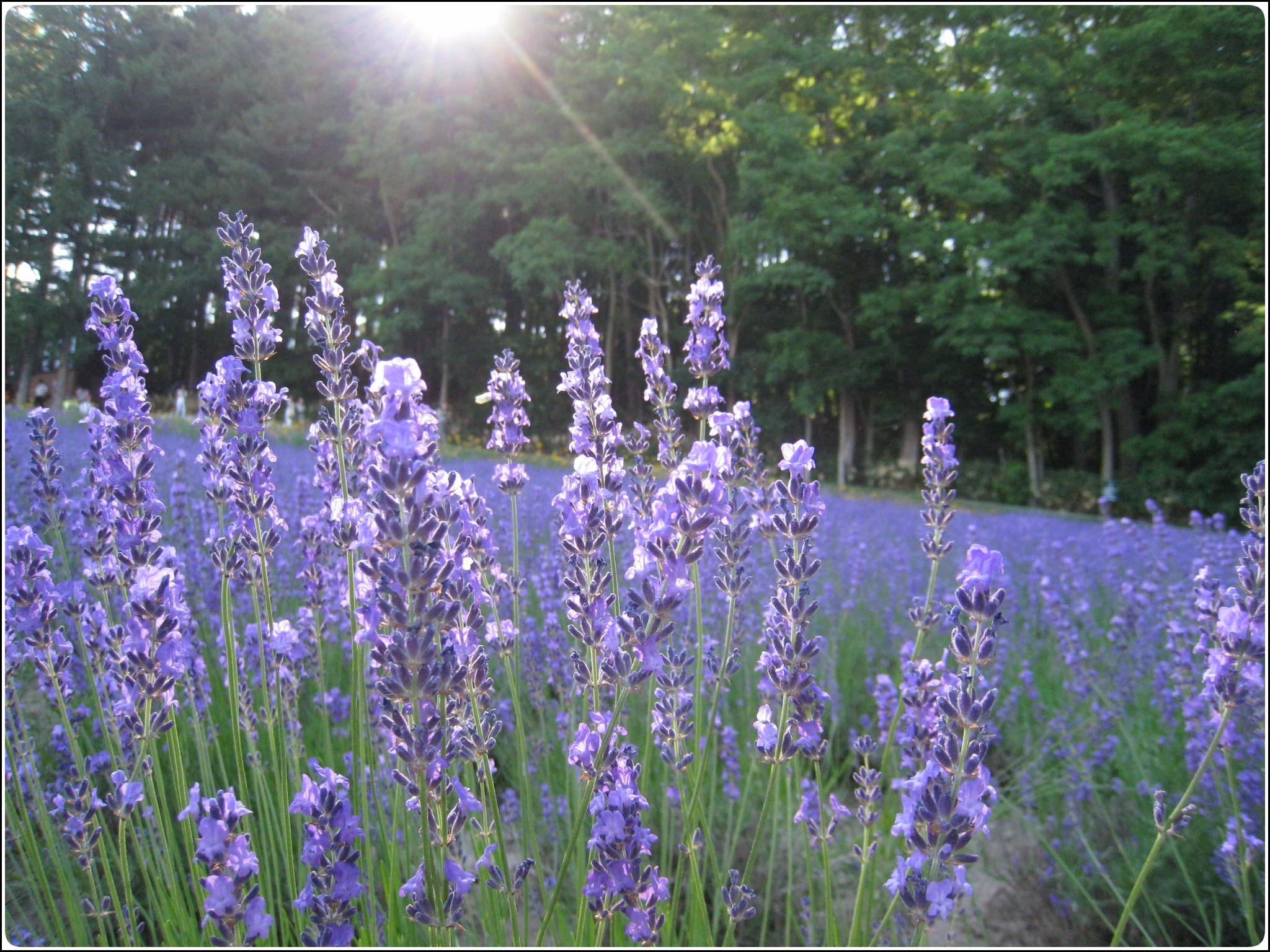 lavender_9_717.jpg