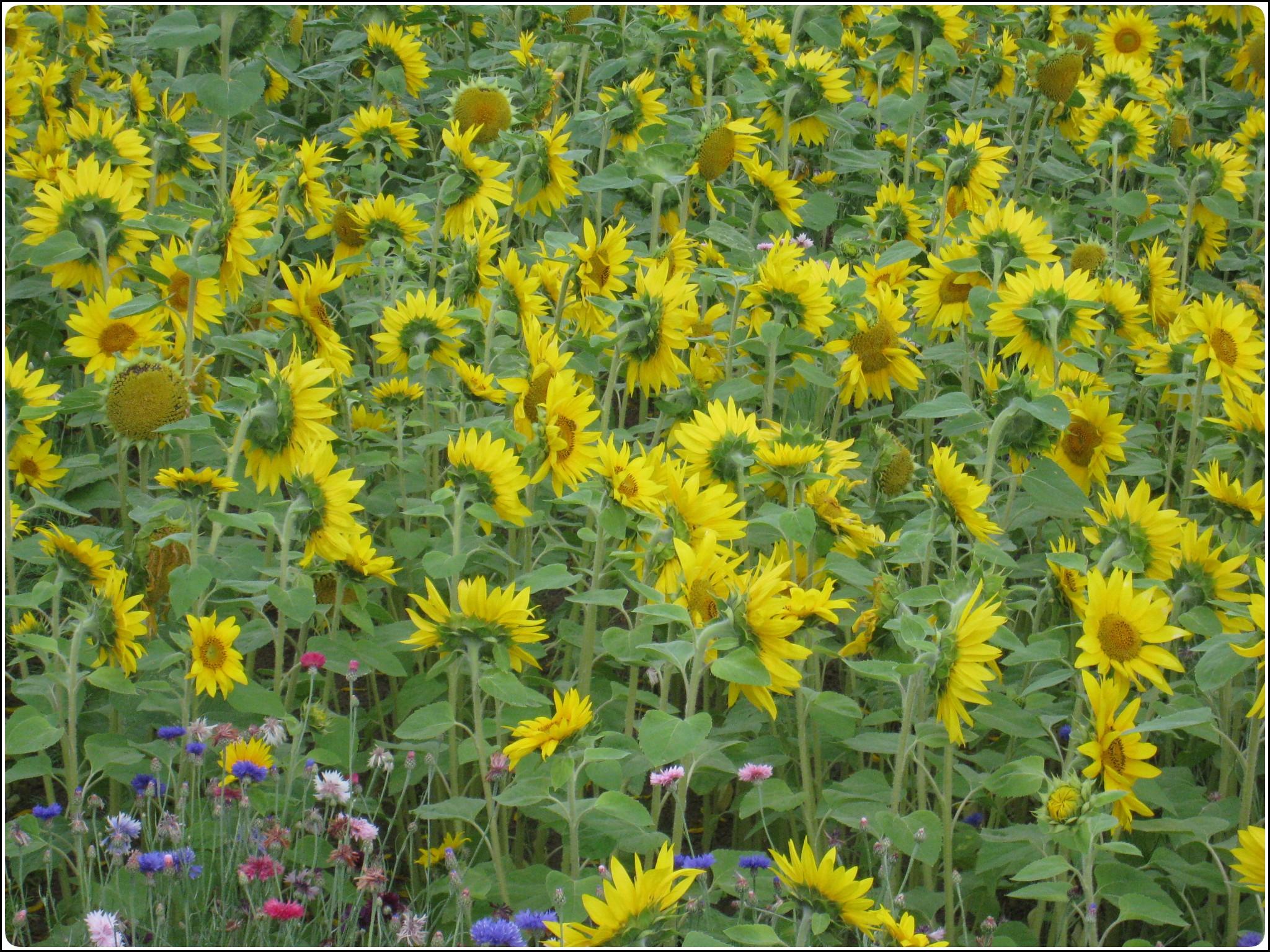 sunflower_1_714.jpg