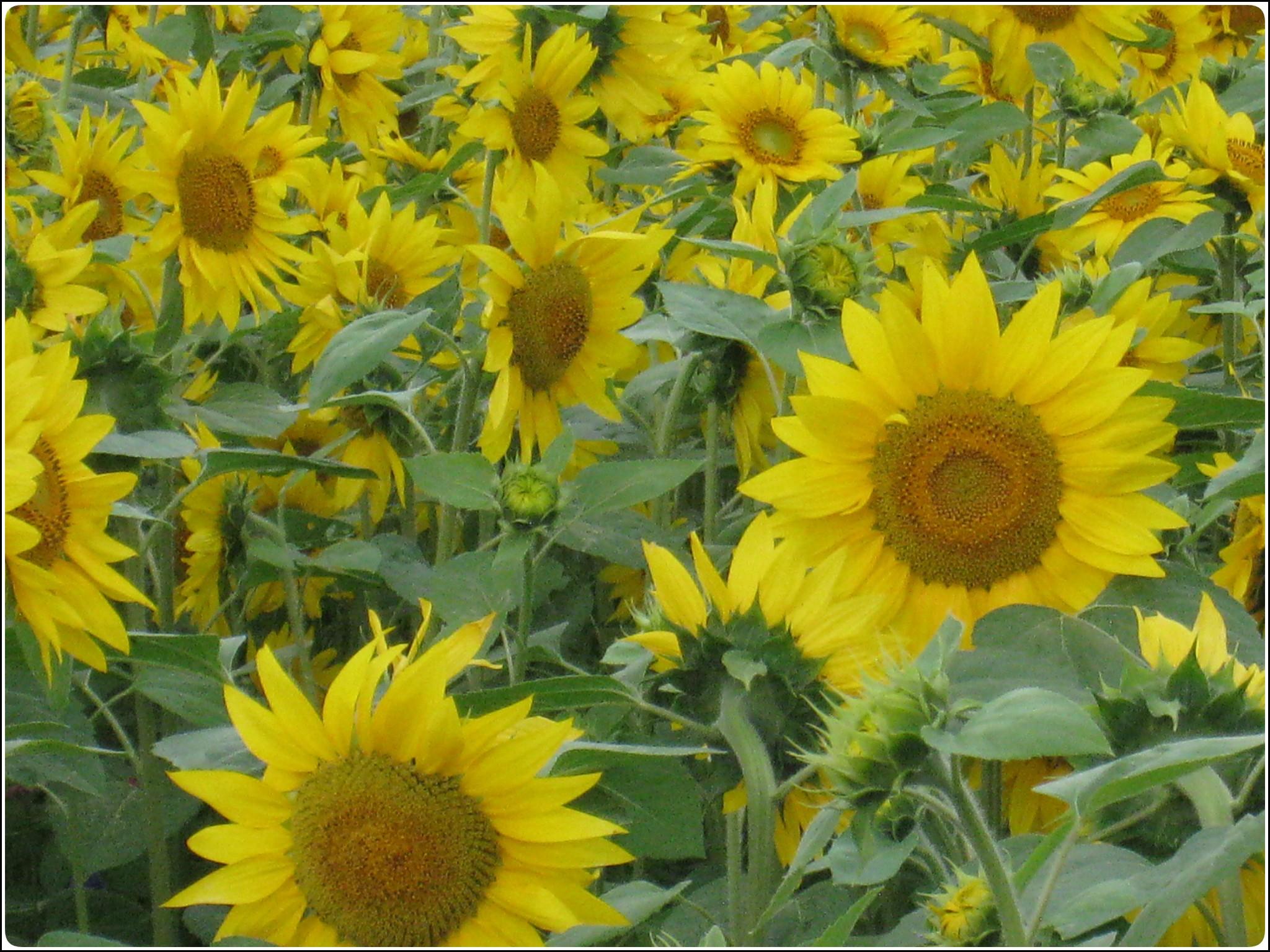 sunflower_2_714.jpg