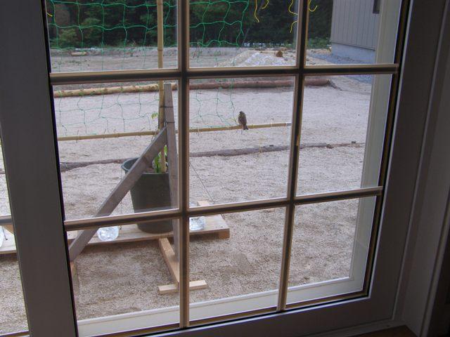 アオジ窓から0609