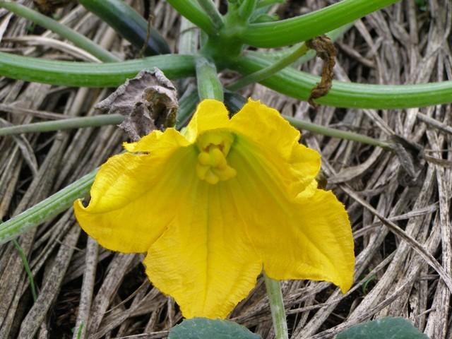 ズッキーニの花0704