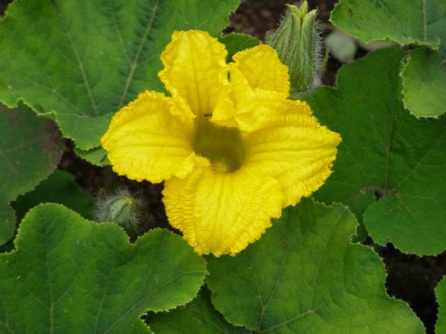 カボチャの花0704