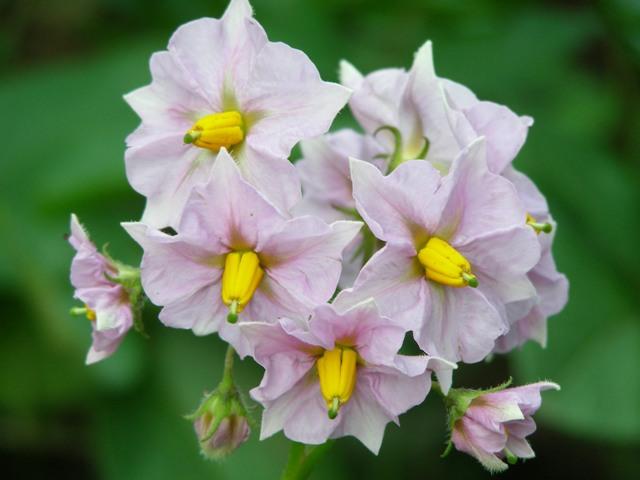 ジャガイモの花0704