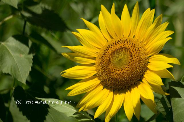 2015年7月26日撮影 兵庫・ひまわりの丘公園のひまわり5