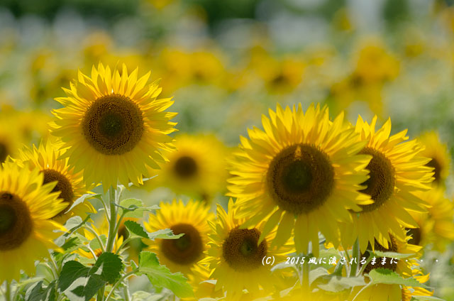 2015年7月26日撮影 兵庫・ひまわりの丘公園のひまわり7