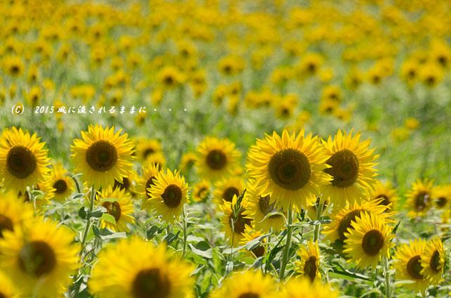 2015年7月26日撮影 兵庫・ひまわりの丘公園のひまわり8