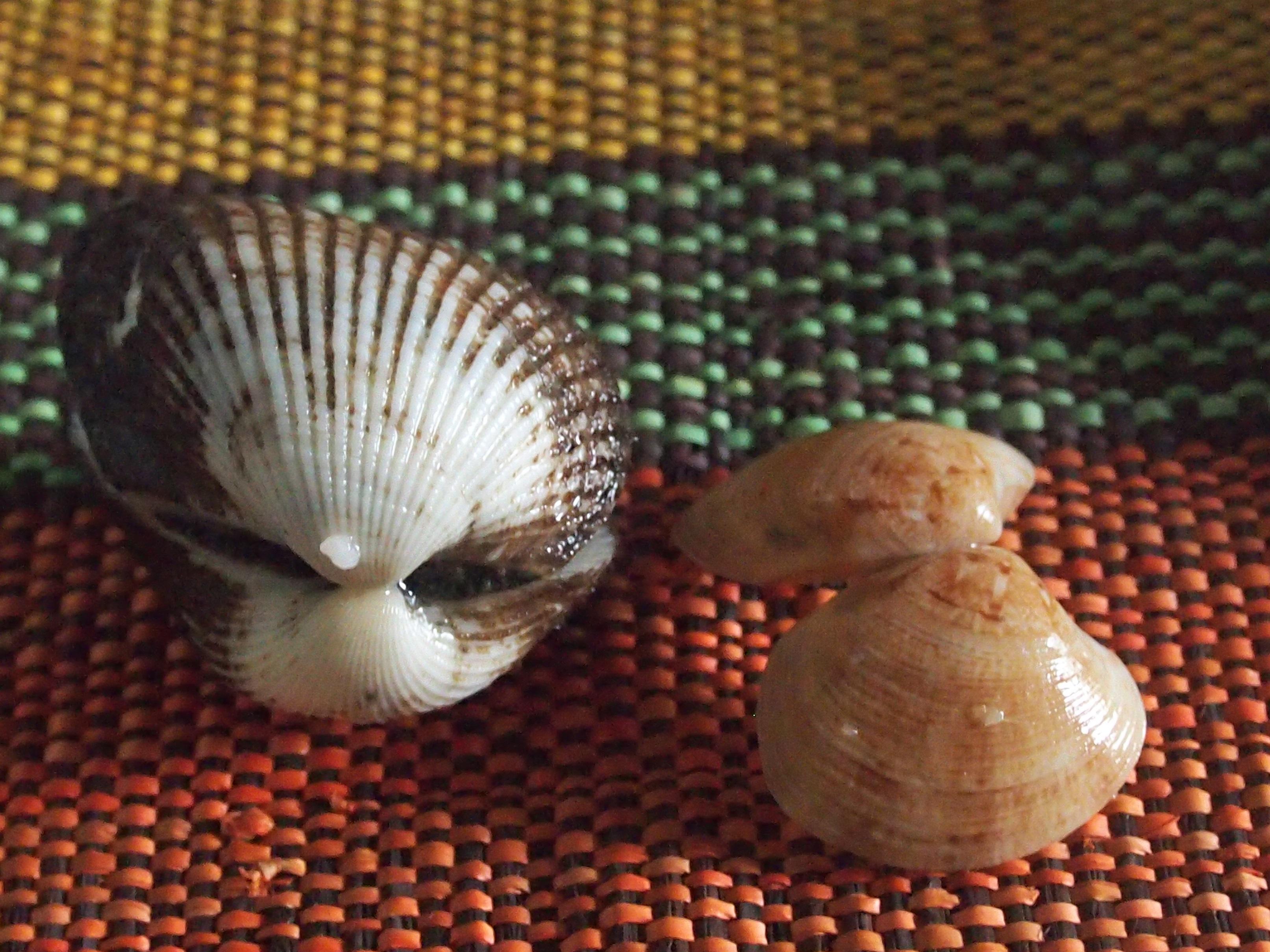 サルボウガイとアサリ1