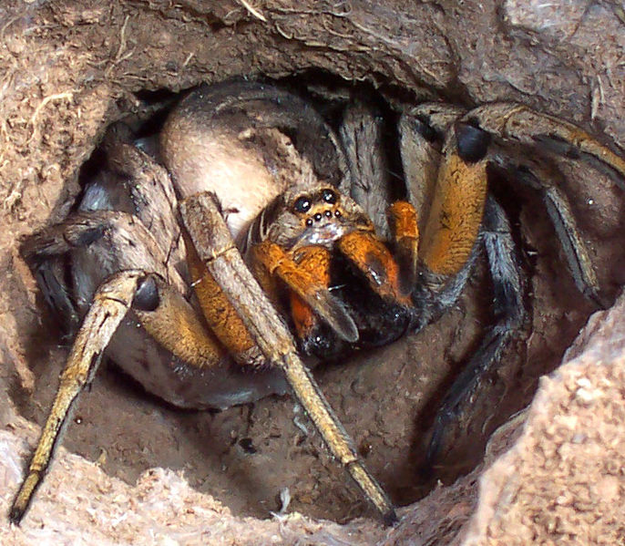 686px-Wolf_spider_attack_positionコモリグモ