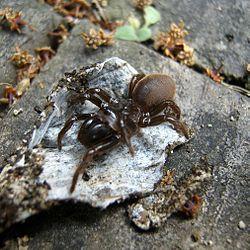 250px-Atypus_karschi地蜘蛛