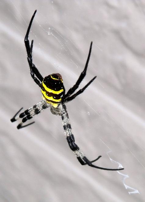 20150717 蜘蛛と鯉 245-2