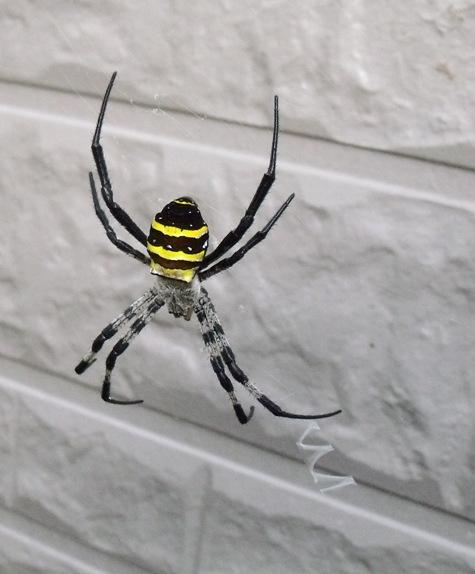 20150717 蜘蛛と鯉 002-2