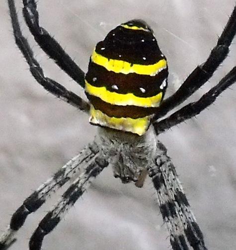 20150717 蜘蛛と鯉 002-3