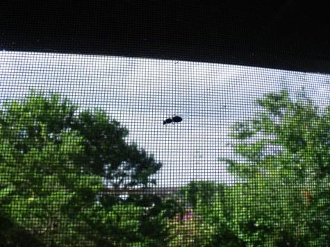 20150717 蜘蛛と鯉19日羽蟻 009-2