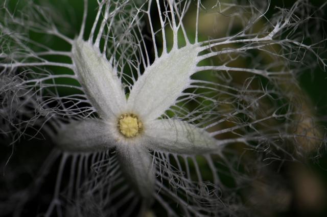 カラスウリの花-07