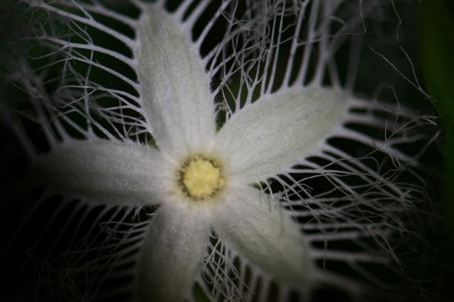 カラスウリの花-03