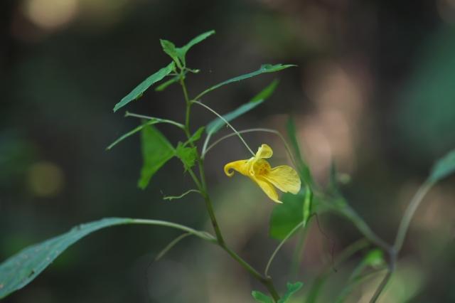 黄花ツリフネソウ-11