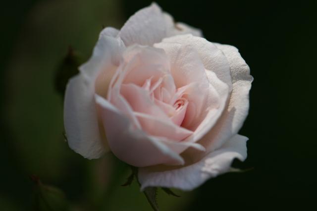 Rosa.odorata-00