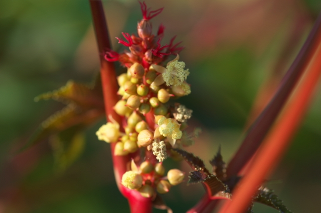 トウゴマの花