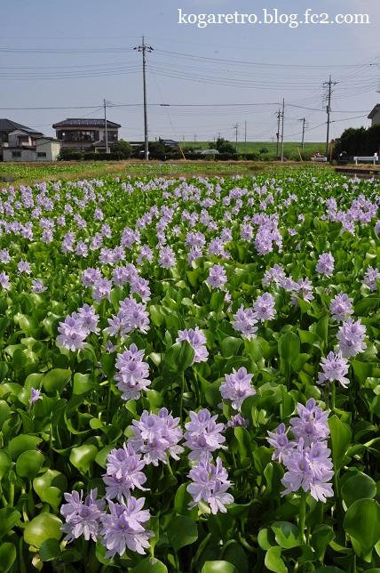 2015加須のホテイアオイ