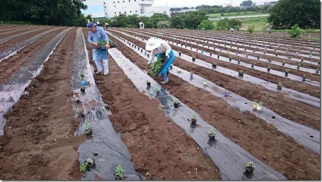 小菊の里定植作業